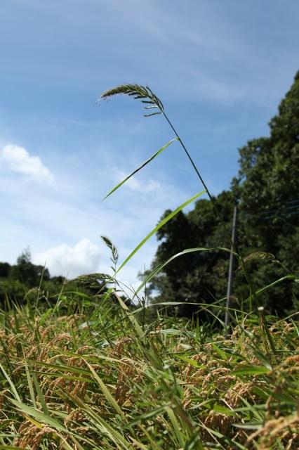 稲刈り008.JPG