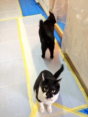 ウロウロする牛猫と黒猫