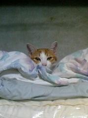 茶トラ猫 マロン