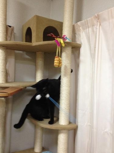 猫じゃらしを取る黒猫