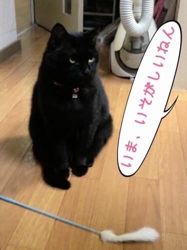 猫じゃらしで遊んでもらえない黒猫