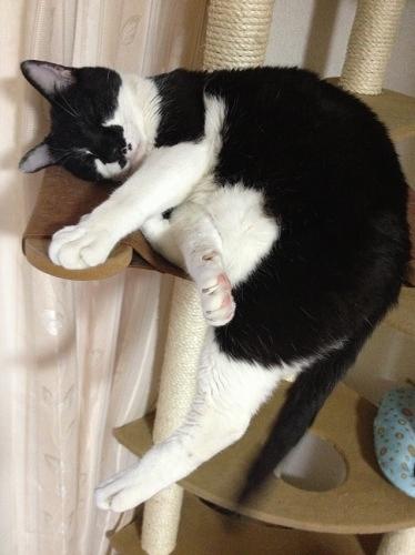 キャットタワーで眠る牛猫