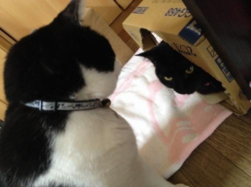 黒猫と牛猫
