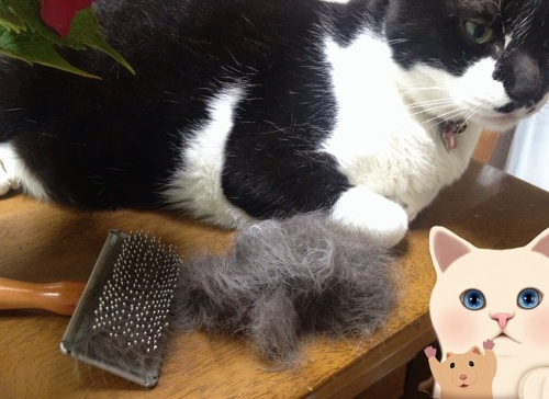 牛猫と毛のかたまり