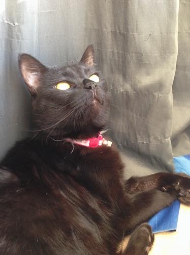 黒猫 ココ
