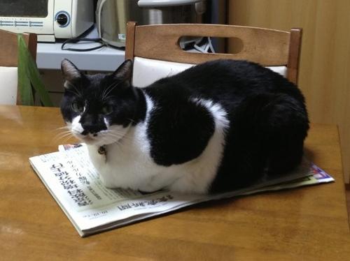 新聞の上の牛猫