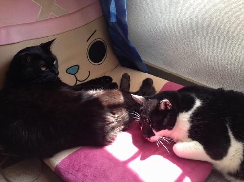黒猫と牛猫 ココ チイ