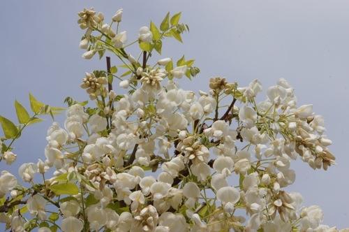吹きこぼす香り激しき藤の花