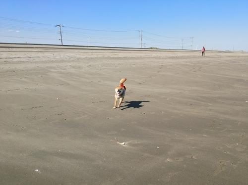 九十九里浜で犬駆ける