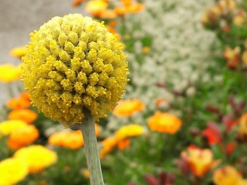 まるくて黄色い花