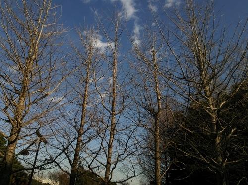 いちょうの枯木