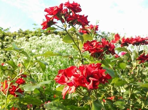 散りゆく赤いバラ