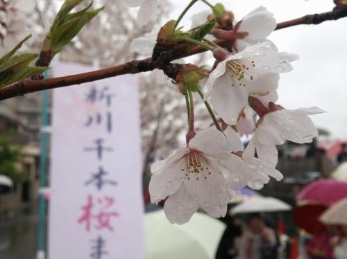 雨に濡れた新川千本桜
