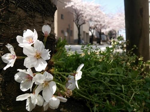 足元に咲く桜
